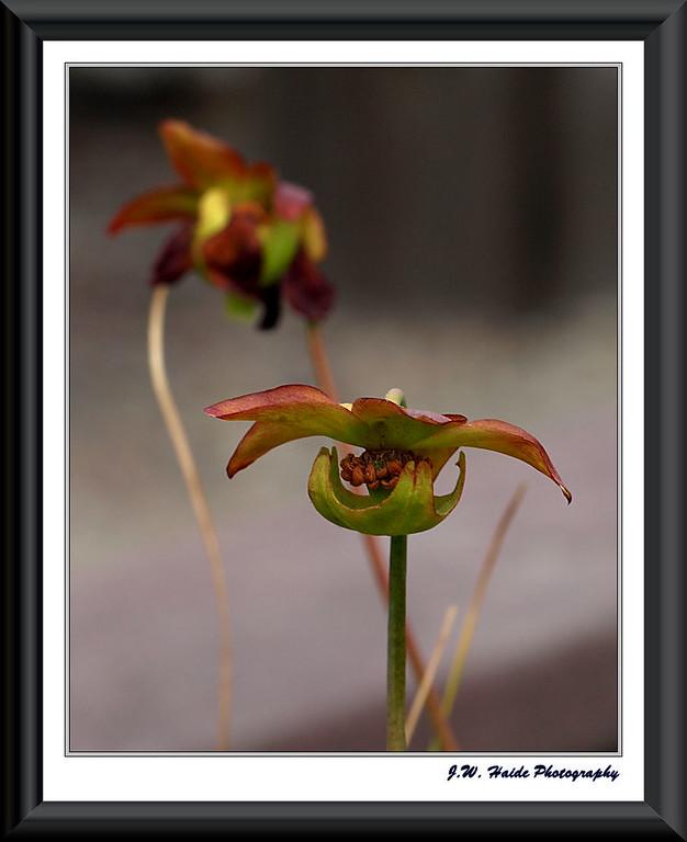 Blossom of carnivorous Plant