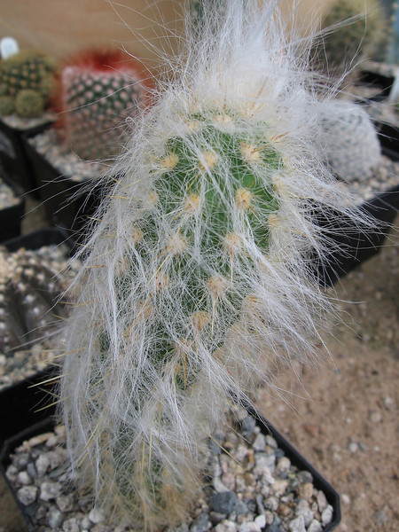 "cactus - looks like an ""old man"" cactus"