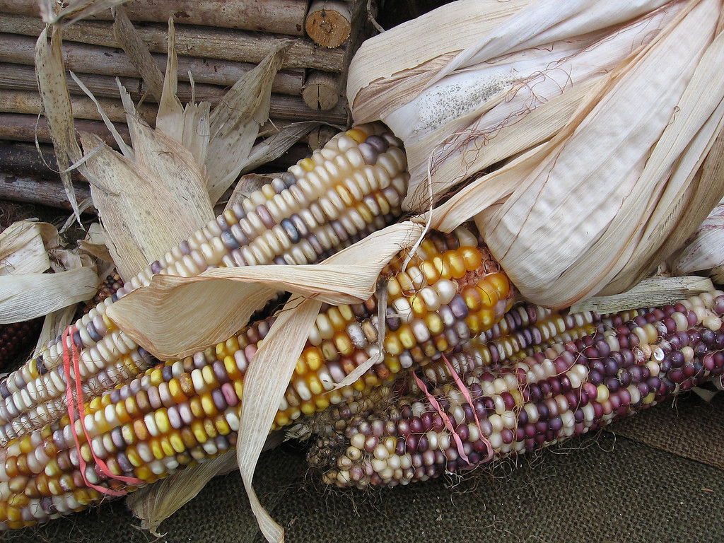 multi-colored ears of corn