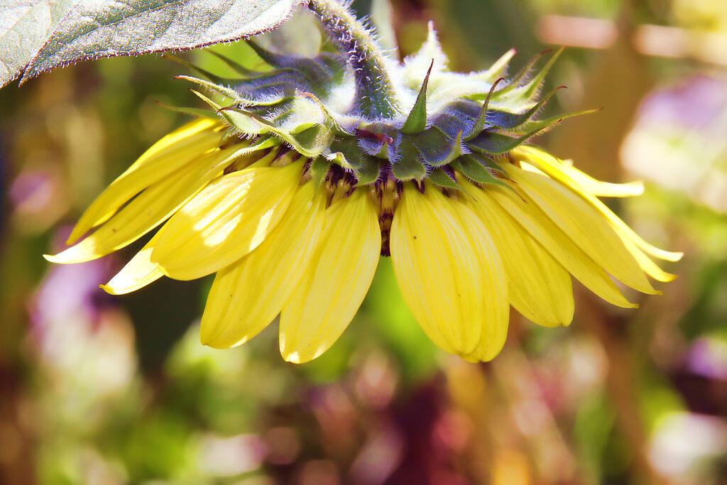 SunflowerSundae