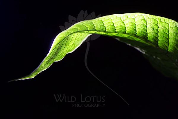 Leaf pictured :: Alligator Fern<br /> <br /> Leaf provided by :: Babylon Floral<br /> <br /> 052212_009520 ICC sRGB 16in x 24in pic