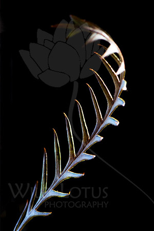 Something Wicked This Way Comes...<br /> <br /> Plant pictured :: Protea Leaves<br /> <br /> Plant provided by :: Abloom Floral<br /> <br /> 020214_003383 ICC sRGB 16x24 pic