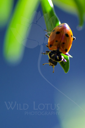 Into The Blue<br /> <br /> Item Pictured :: Ladybug<br /> <br /> 081313_000481 ICC sRGB 16x24 pic