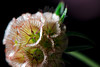 Starfish<br /> <br /> Flower pictured :: Scabiosa Seedpod<br /> <br /> Flower provided by :: Babylon Floral<br /> <br /> 053112_010512 ICC sRGB 16in x 24in pic