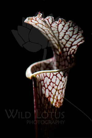 Flower pictured :: White-topped Pitcher Plant<br /> <br /> Flower provided by :: Babylon Floral<br /> <br /> 052412_009582 ICC sRGB 16in x 24in pic
