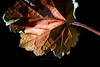 Leaf pictured :: <br /> <br /> Leaf provided by :: Babylon Floral<br /> <br /> 052412_009554 ICC sRGB 16in x 24in pic