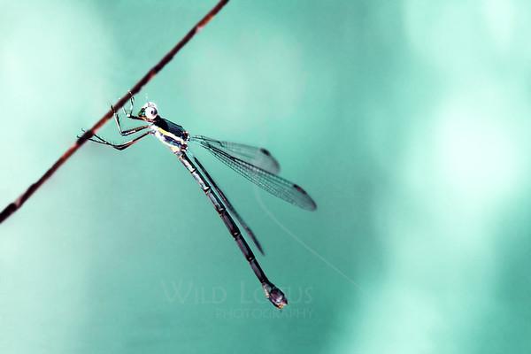 Abalone<br /> <br /> Dragonfly on Lilac<br /> <br /> 090713_001300 v3 ICC sRGB 16x24 pic