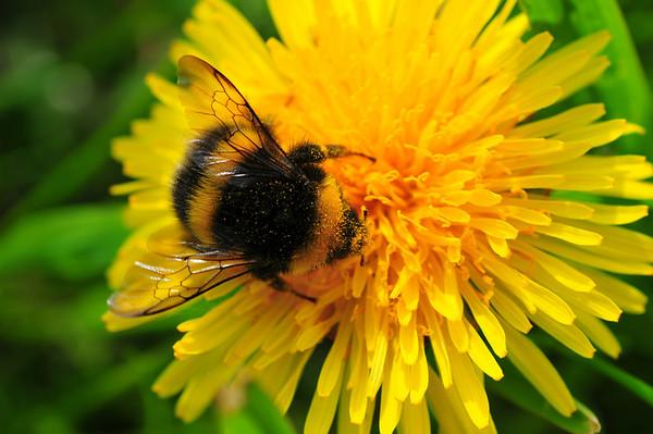 Honningsamler...