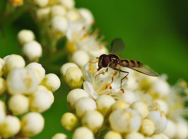Bie på blomst..