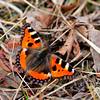 Sommarfugl...denne typen såg me og på toppen av Sveindalsnuten...Påsken 2009.