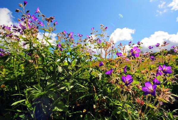 Blomstereng...2.