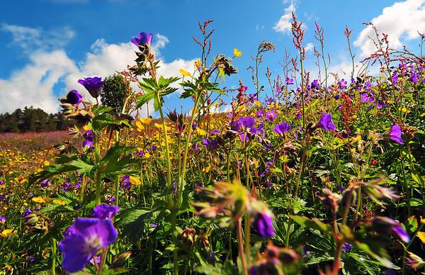 Blomstereng...1.