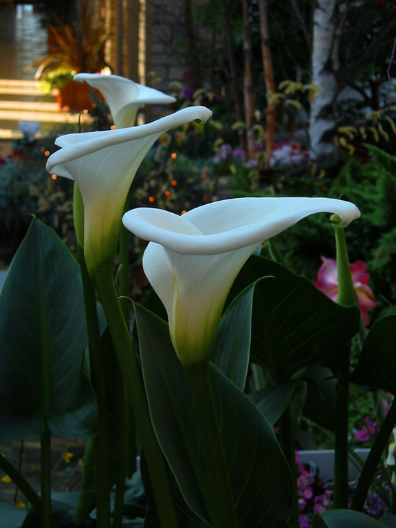 Callas -<br /> In our garden...when it rains...<br /> the callas fill with a nectar like liquid.<br /> We cut hollow reeds and plunging them into the callas...<br /> drink deeply.