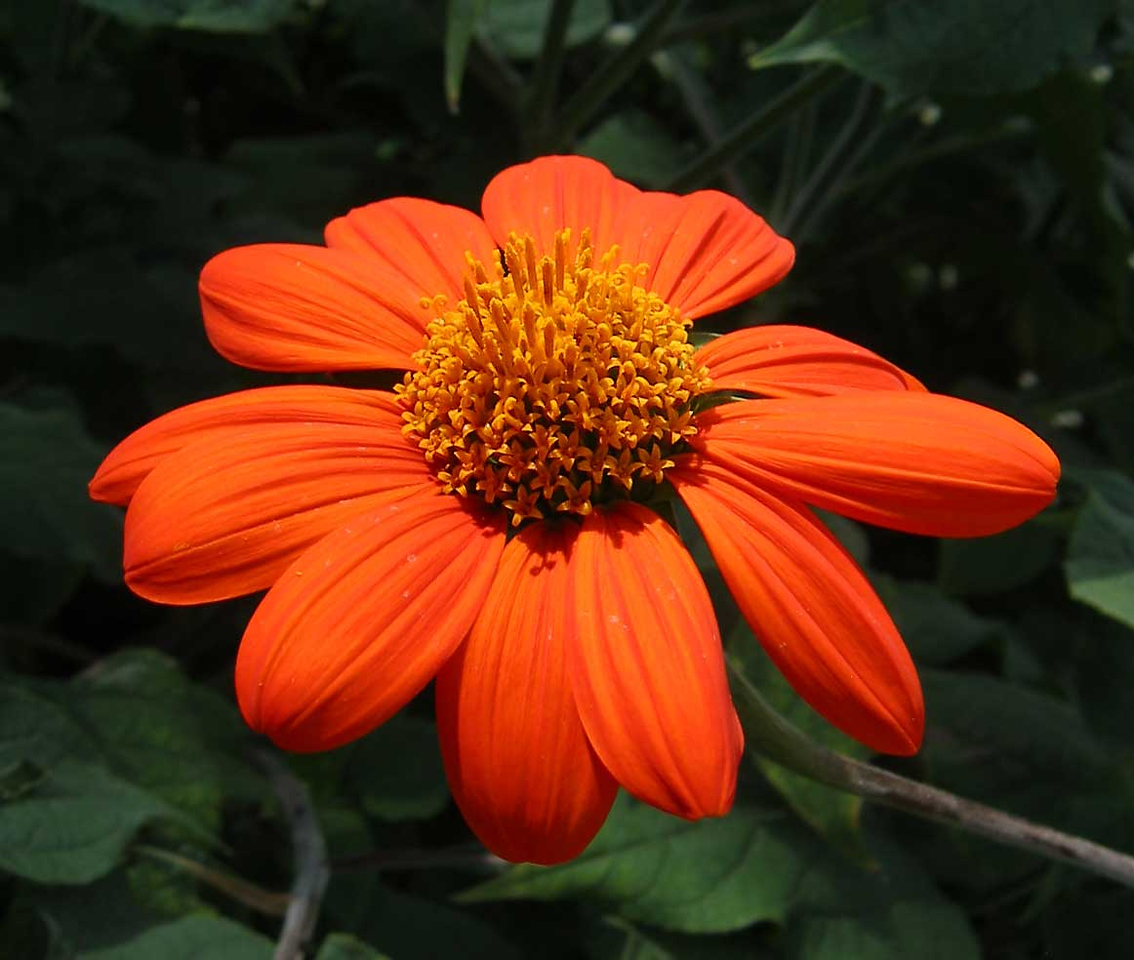 Brilliant orange Tithonia from the butterfly exhibit at Powell Gardens.<br /> I like this image because it was a bright spot in the shade.