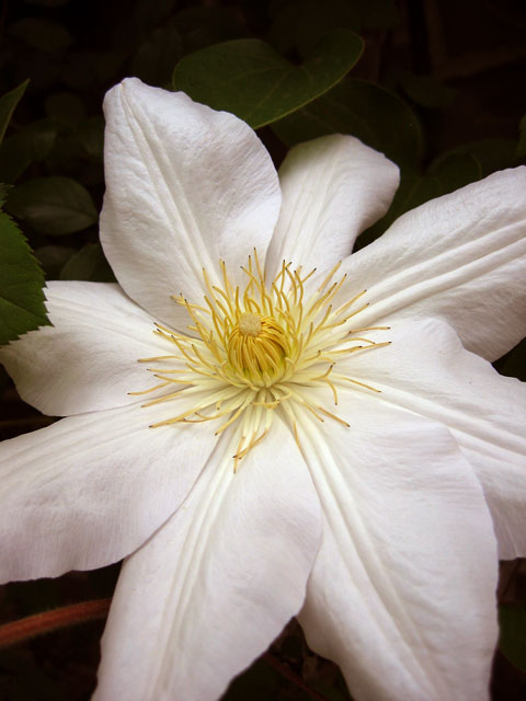 This clematis growing near our patio<br /> was photographed just before a summer storm<br /> turned the bright afternoon into darkness.