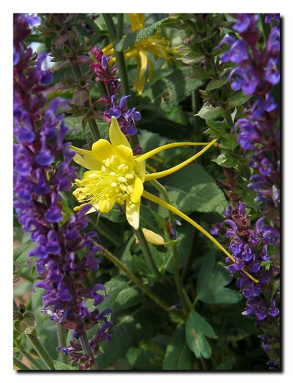 I liked the color combination of this yellow columbine and the blue salvia.<br /> We once had a huge yellow columbine plant in our front garden <br /> but it eventually died because of the rabbits digging under it <br /> to build their fur-lined nests.