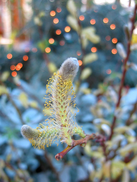 Pussy Willow -<br /> The dots of light in the background were<br /> some clear holiday lights strung through the garden.<br /> No flash was used and the clear lights appear to be orange<br /> colored in the photo. The tiny clear lights looked really <br /> nice rambling through the plantings.