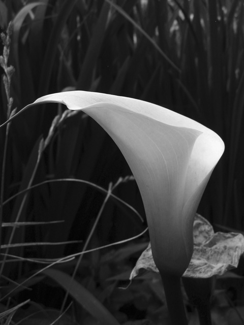 This calla lily was growing outdoors in a boggy and shady area at Powell Gardens.<br /> It seemed to be a bright spot in the shade and was mostly lost in a group of iris.<br /> Black and white seemed to fit this better than color.