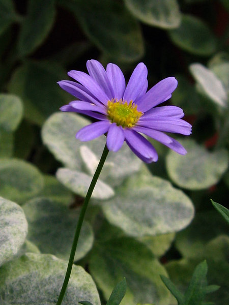 Swan River Daisy - Brachycome Iberidifolia.<br /> Licorice in the background.