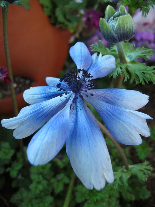 Anemone - wind flower.