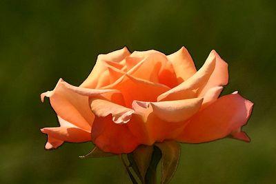 roses 004watercolor