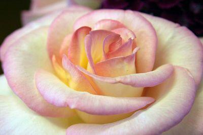-rose 077