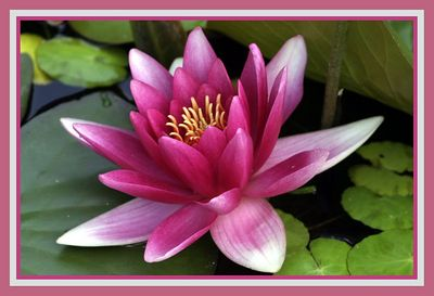 2 water lilly oval card