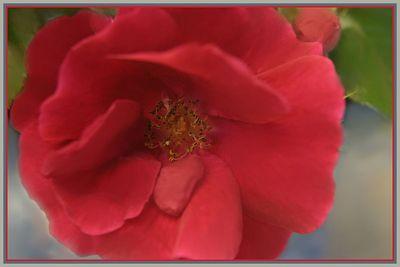 -rose 026p8 stroke