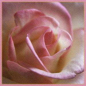 -rose 022 8x8