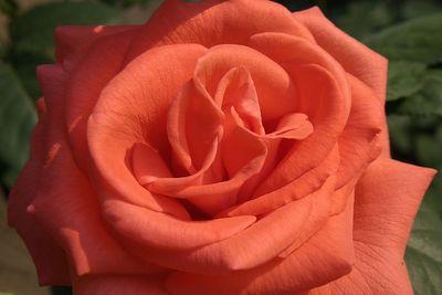 -rose 043