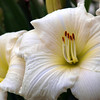 Day Lilly