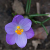 Tiny, tiny little crocus growing beside a fireplug.