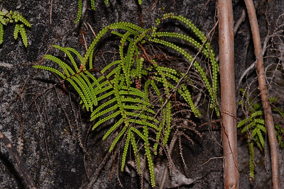 "As you climb up the rivulet at the bend in the river, there are a number of ferns to be seen in wet areas, also along the sides of the Wooli River east of the Sandslide going towards the river mouth.   Possible ""Gleichenia dicarpa"", Pouched Coral Fern, or Tangle Fern."
