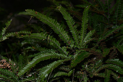 Unknown fern. 732