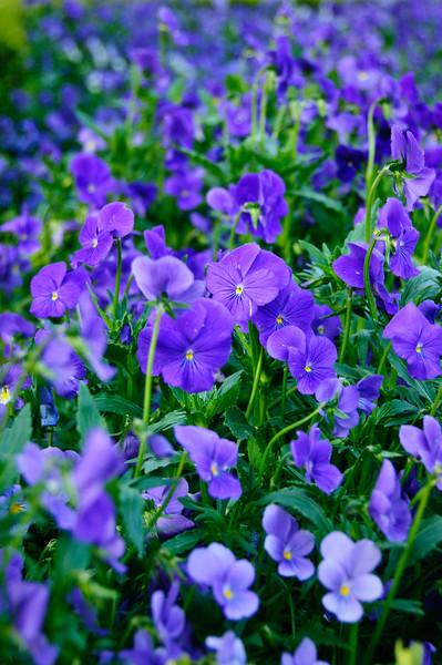 Purple Pansies at Filoli D3X2858