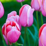 Pink Tulips web