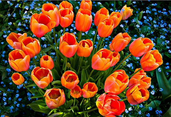 """""""Bouquet of Color"""" Tulips at Filoli Gardens in Woodside California"""