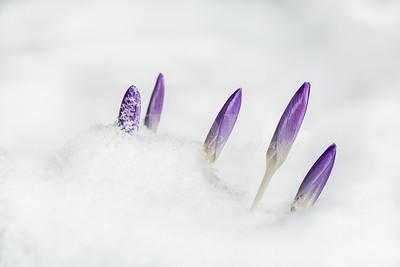 Snow Crocus