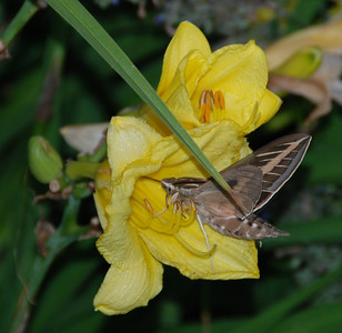 It's a hummingbird moth