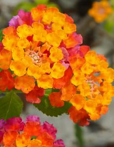 Flowers - Panama