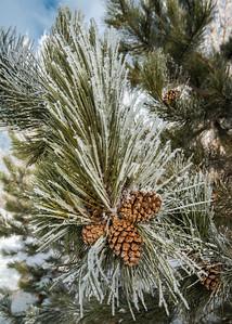 Pine Cones in Frost