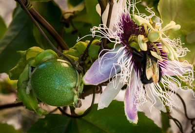 Passion Fruit bloom and fruit