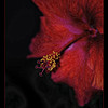Psychedelic Hibiscus<br /> <br /> ...this is what happens when you combine boredom and a bad picture day! :)