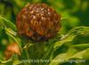 Centaurea Bud