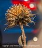 Sunflower seedhead