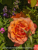 Apricot Rose with Painterly Effects