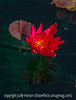 Water Lily - Hardy