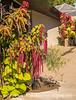 Chenille Plant with Sweet Potato Plant