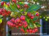 Indian Hawthorne Fruits