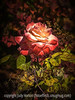 Rose (Rosa) with Painterly Effects